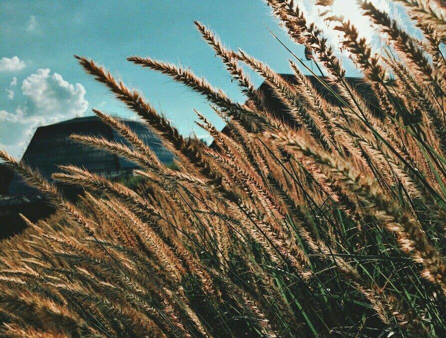 Champs de blé en gros plan